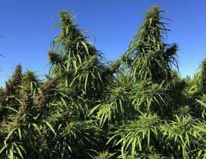 Does CBD Oil Get You High? -Outdoor Hemp Flower